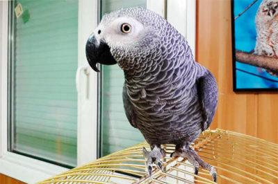 приручение попугая жако