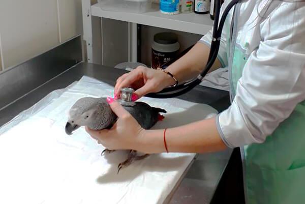 лечение попугая орнитологом